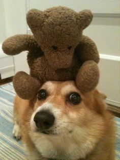 (Almost) Wordless Wednesday: Be My Teddy Bear! - The Daily Corgi