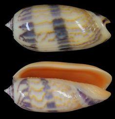 Oliva minacea lamberti - 48 mm, Vanuatu Snail Shell, Snails, Clams, Origins, Starfish, Sea Shells, Rocks, Crafty, Halloween