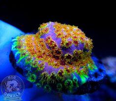 Chalice Coral, Saltwater Tank, Reef Aquarium, Fishing Humor, Salt And Water, Corals, Lps, Aquariums, Tanks