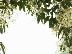 Sweet autumn clematis (Clematis terniflora), which grows well in U.S. Department of Agriculture plant hardiness zones 5 through 11, gives you a brilliant cascade of white flowers in late summer and ...