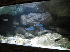 like the top overhang Biotope Aquarium, Cichlid Aquarium, Aquarium Fish, Aquarium Ideas, 125 Gallon Aquarium, Planted Aquarium, Malawi Cichlids, African Cichlids, Amazing Aquariums