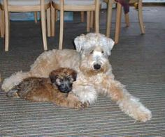 Soft Coated Wheaten Terriers - Dogs -  Winston & Lillie