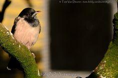 roze spreeuw - Pastor roseus - Rosy starling | by MrTDiddy