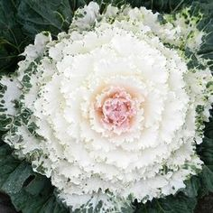 Brassica oleracea 'Songbird White' (Flowering Kale) is  slightly more compact than other varieties. The round leaves and compact upright habit repel rain, and the uniform habit lends itself well to massed plantings for a neat and tidy appearance