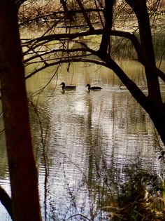 Ducks on a Lake by R. Morrison