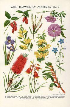 Drawn wildflowers of Australia #wildflowers #Australian