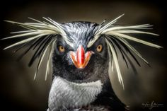 Penguin Gone Crazy by Stefan Brenner on YouPic Nature Animals, Animals And Pets, Wild Animals, Beautiful Birds, Animals Beautiful, Adorable Animals, Rockhopper Penguin, Broken Pictures, Doraemon Wallpapers