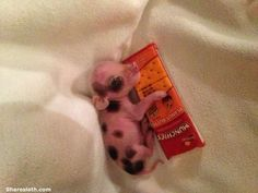 Adorable Teacup Pigs | baby pig with candy bar Teacup Pig Pictures So Adorable
