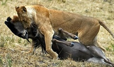 The consumer in this picture shøws aggresive attack by the lion to the .... Horse i guess