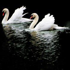 I love swans.