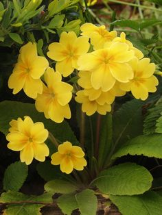 An Englishman's Garden Adventures Sorrel Plant, Yellow Flowers, Beautiful Flowers, Partial Shade Plants, Heart With Wings, Zinnias, Garden Landscaping, Planting Flowers, Garden Design