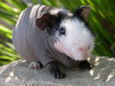 I didn't think the bald guinea pigs would be cute, but this one is actually kinda adorable!