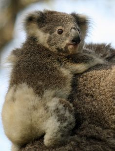 Baby Koala♥.•:*´¨`*:•♥
