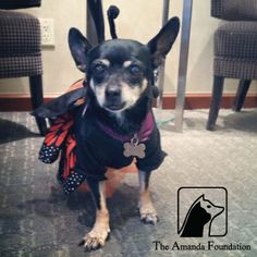 This cutie, available for adoption, dressed up as a butterfly for Halloween. She was sitting pretty at the Amanda Foundation's annual Bow Wow Beverly Hills event.