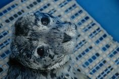 Harbour Seal pup