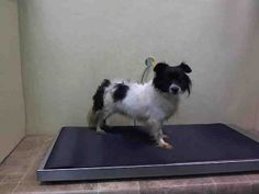 Safe 12/12■□■□■□■■♡ MY LIFE MATTERS ♡ CHASE – A1059334 **DOH HOLD 12/01/15** MALE, WHITE / BLACK, CHIHUAHUA LH MIX, 4 yrs STRAY – ONHOLDHERE, HOLD FOR DOH-B Reason ABANDON Intake condition UNSPECIFIE Intake Date 12/01/2015, From NY 11433, DueOut Date 12/04/2015,