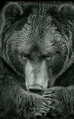 """** """"Nowz dat yer rifle on de ground beyond yer reach, howz ya gonna begs fer yer life, whenz yoo wuz gonna snuffs outz mine? Ours Grizzly, Grizzly Bears, Beautiful Creatures, Animals Beautiful, Art D'ours, Animals And Pets, Cute Animals, Strange Animals, Photo Animaliere"""