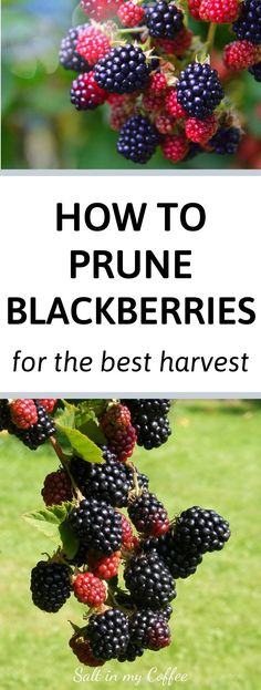 Growing blackberries is easy, but did you know that properly pruning blackberry canes can help them bear even MORE fruit, while promoting the best health of the blackberry bushes? This quick tutorial will turn you into a confident blackberry pruning pro! Check out this post to learn how to and when to properly prune your blackberry bushes for the best harvest next year! #growingblackberries #homesteading #organicgardening #gardeningtips #berrygarden