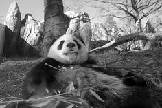 Follow me on FACEBOOK View me BIG See also a video I did with a few Tai Shan photos and Tian Tian on youtube.com here.   https://www.youtube.com/watch?v=zIlcwHKLPdk  https://www.youtube.com/watch?v=JPAwSsHUCB0  https://www.youtube.com/watch?v=V6--bDlM5sg  https://www.youtube.com/watch?v=V6--bDlM5sg