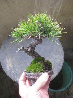 盆栽:失敗作も、それなりに、、、の画像 | 春嘉の盆栽工房