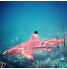 Very rare PINK shark...and yes, it's real!