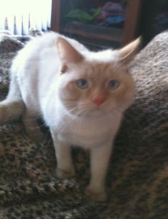 <3 <3 <3 Flame point, polydactyl kitten <3 <3 <3 Available For Adoption | Purebred Cat Rescue