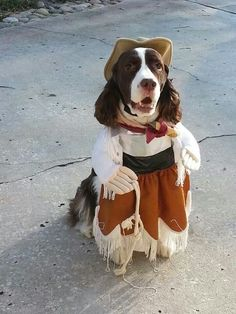 Omg, how cute is this? Cowboy Springer Spaniel. Reminds me of my Springer and she loved Halloween, too!