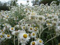 coronidium (paper daisy) Paper Daisy, Australian Plants, Native Plants, Daisies, Garden Inspiration, House Plants, Gardening Tips, Flora, Around The Worlds