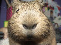 guinea pig snout