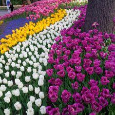 Emirgan - İstanbul Tulip Festival Tulip, Beautiful Flowers, Bloom, Plants, Tulips, Plant, Planets