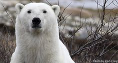 A curious polar bear in Churchill, Manitoba, Canada. Must visit and see!!