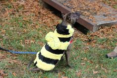 Office dog Margaret loves her bumble bee costume from @PetSmart!