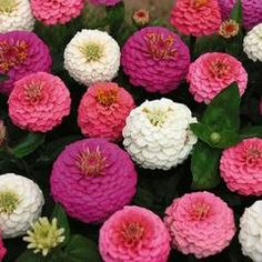 50 Stratified Edwardian Zinnia Seeds - My Secret Gardens: Bright, inch button type flowers in shades of lavender, rose, and white. They are excellent for cutting. Plants grow to 16 inches tall. Shade Flowers, My Flower, Beautiful Flowers, Summer Flowers, Gerbera, Flowers Perennials, Planting Flowers, Zinnia Elegans, Annual Flowers