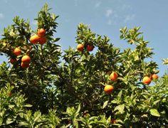 Agrumi, reimpiego sostenibile degli scarti: al via le domande per le agevolazioni