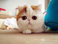 Snoopy, Exotic Shorthair.