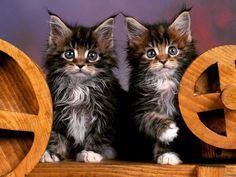 """Siblings  #cat #cats #catsagram #catstagram #instagood #kitten #kitty #kittens #pet #pets #animal #animals #petstagram #petsagram #photooftheday…"""