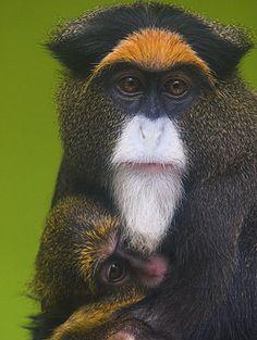 De Brazza's monkey | De Brazza's monkey: most expensive pet monkey