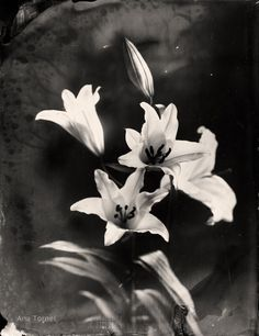 Fleur-de-Lys 18x24 cm Ambrotype on Clear Glass February 2013 © Ana Tornel, #WetPlate #Collodion #Ambrotype #Nature #BlackandWhite #Vintage #LargeFormat