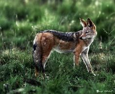 Black-backed jackal inhabits two areas of the African continent separated by roughly 900 km. One region includes the southern-most tip of the continent, including South Africa, Namibia, Botswana, and Zimbabwe. The other area is along the eastern coastline, including Kenya, Somalia, and Ethiopia.
