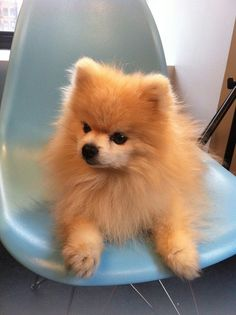 .Cute photo of a POM