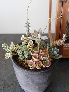 Group planting of succulents
