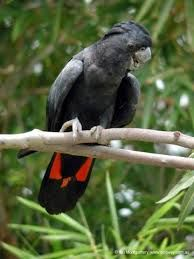 Image result for red tailed cockatoos