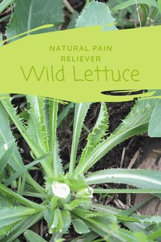Wild Lettuce - How to Locate and Use This Natural Pain Reliever Wild Lettuce, Bitter Lettuce, Medicinal Weeds, Edible Wild Plants, Herbs For Health, Healing Herbs, Natural Healing, Wild Edibles, Herbs Indoors