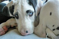Future dog. Harlequin great dane puppy with blue eyes. <3.