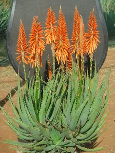 Easy Desert Landscaping Tips That Will Help You Design A Beautiful Yard Cacti And Succulents, Planting Succulents, Cactus Plants, Flowering Succulents, Succulent Landscaping, Landscaping Plants, Agaves, African Plants, Desert Plants