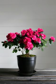 Our Azalea. A perfect gift for Administrative Professionals day. Take 20% off with the code 'ADMINPRO'! www.epottingshed.com