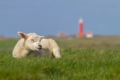 This is Texel! #Texel #wadden #eiland #justinsinner #lamb #lammetje #lighthouse #vuurtoren #schaap #Holland #nature #fotografie #photography Website: http://justinsinner.nl Webshop: http://justinsinner.werkaandemuur.nl/nl