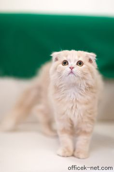 Scottish Fold gorgeous!