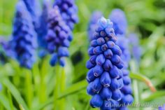 https://flic.kr/p/Ge566s | Blue Bells of Enchantment | Muscari in the lily family, presents tiny little bell shaped flowers.  Photographed in our yard. with a Nikon 1 V2, 1 Nikkor 30-110mm lens, and an Olympus 1.7 teleconverter (about 500 mm FF equivalent).  RAW processed in Lightroom, and ethereal quality added with SuperPhoto. I am creating a new album of Ethereal style photos that are manipulated to present an image of a fantasy world.