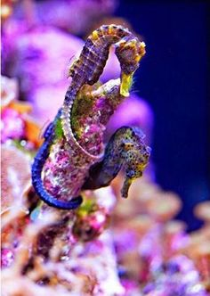Sea horses-oh no! Don't get me on Seahorse! Underwater Creatures, Underwater Life, Ocean Creatures, Underwater Images, Beautiful Creatures, Animals Beautiful, Beautiful Things, Fauna Marina, Salt Water Fish